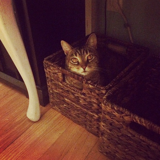 The Bengal hung out in this basket.